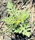 ragweedplant.jpg