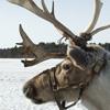 reindeer432350563_4c0d7aba81.jpg