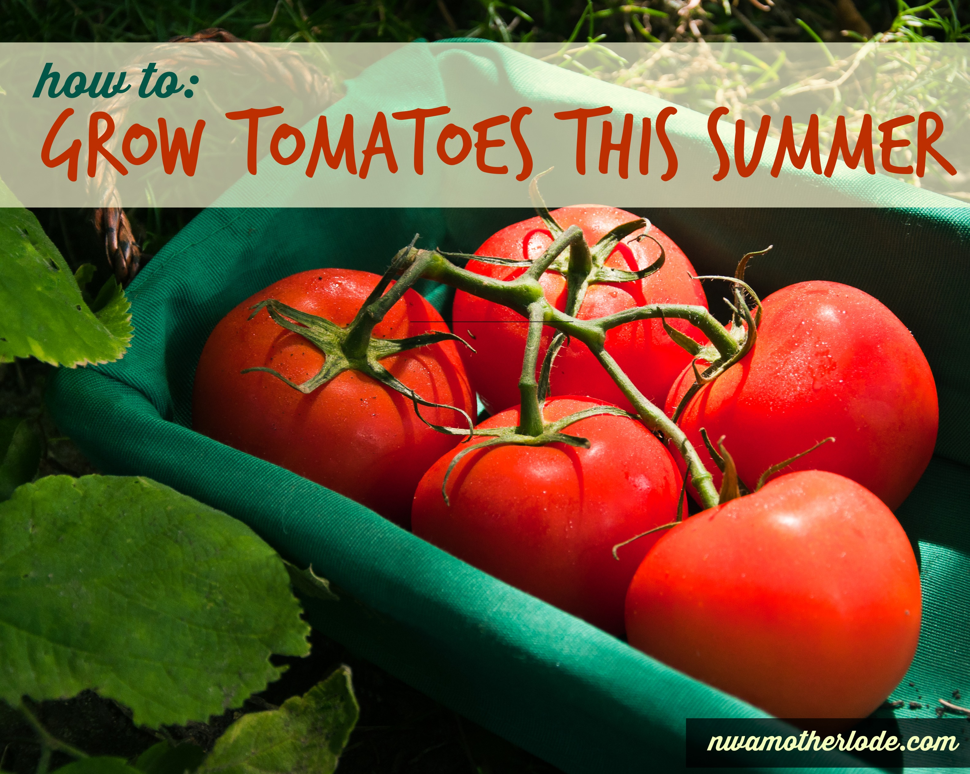 gardening how to grow tomatoes this summer. Black Bedroom Furniture Sets. Home Design Ideas