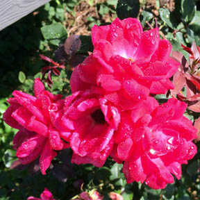 knockout roses, carrie