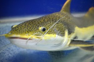 fish catfish