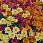 mums flowers-569585_640 (2)