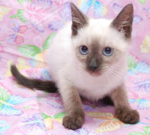chocolate pointe siamese1