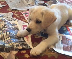 Shannon's puppy playing in newspapers, nwaMotherlode.com