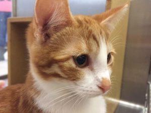 orange cat