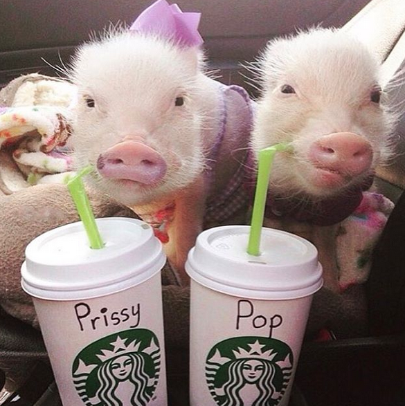 prissy-and-pop-pigs