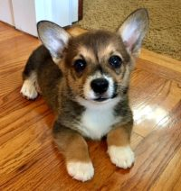 The Rockwood Files: Life with a 5-month-old Corgi