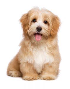 havanese puppy white background