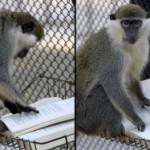 Devotion in Motion: The Monkey's Disgrace