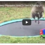 Funny Friday: Sheep discovers a trampoline and has some fun